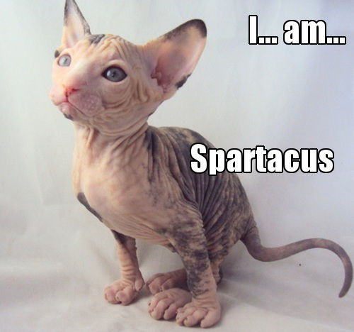 Funny Sphynx is Spartacus