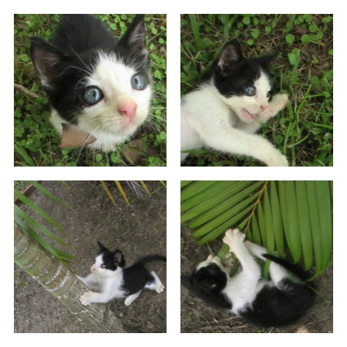Gorbeye Man, an orphaned black and white kitten