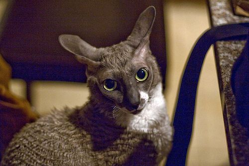Gray and white Cornish Rex cat