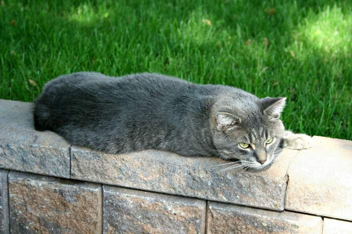 Gray tabby Manx cat
