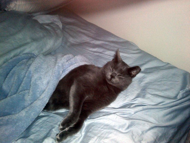 Halo the Russian Blue relaxing in bed