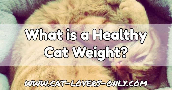 Jazzy the cat with text overlay What is a Healthy Cat Weight?
