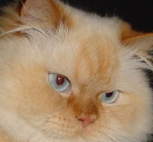 Flame Point Himalayan