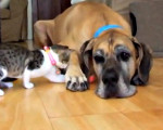 Honey the Great Dane and Muesli the kitten