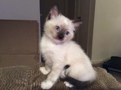 Is My 12 Week Old Kitten A Seal Point Siamese