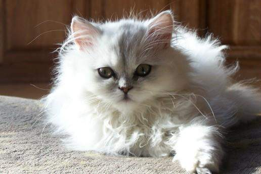 Izzy, the silver tipped Persian