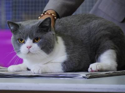 Jack Flash Blue Bicolor British Shorthair at cat show