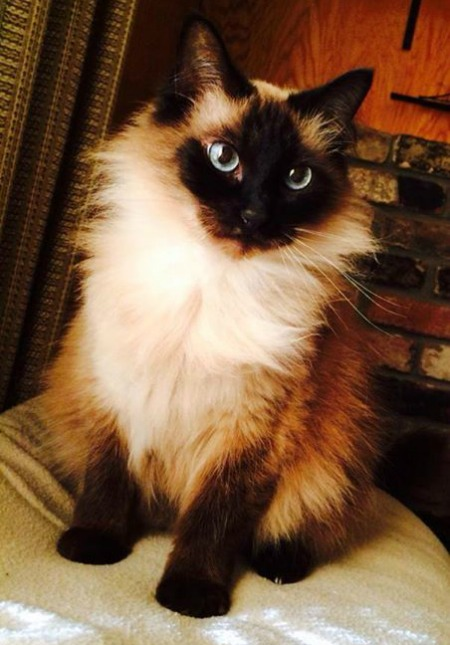 Kaluha the Ragdoll