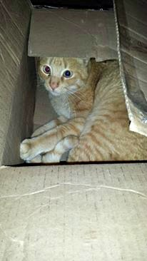 Kin the tabby in a box