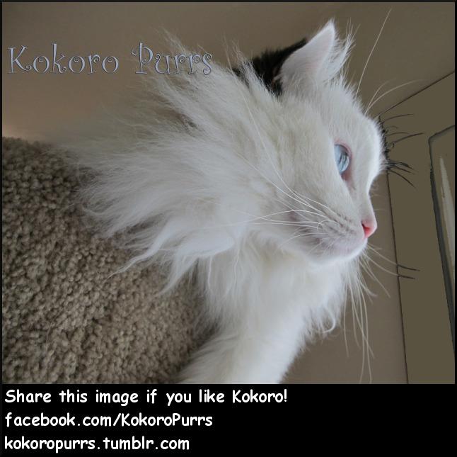 Kokoro Kitty