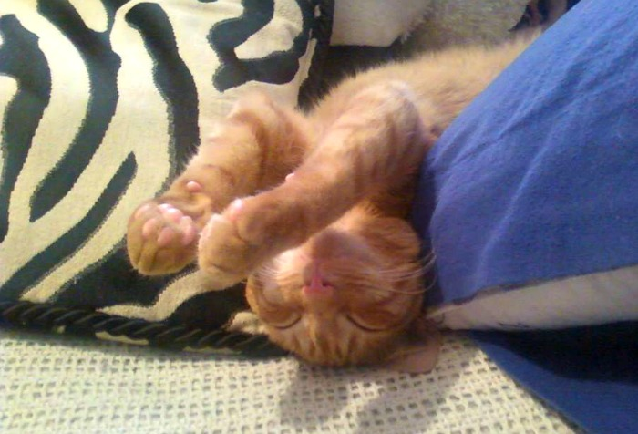 Leo the orange tabby