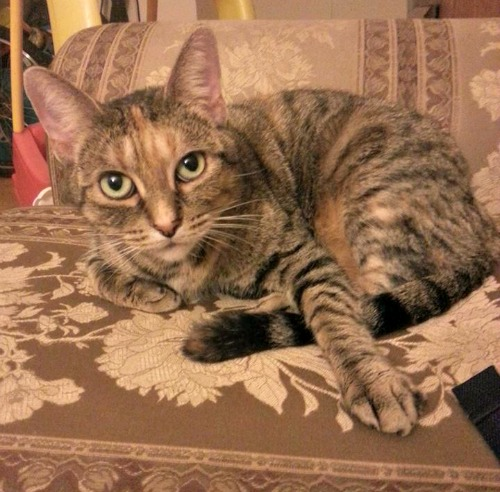 Lilly the tabby