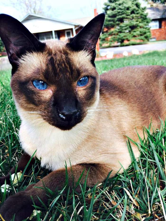Lilly the Siamese
