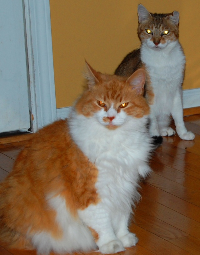 Lily the ginger tabby and white in foreground