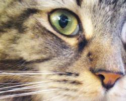 Maine Coon tabby cat face
