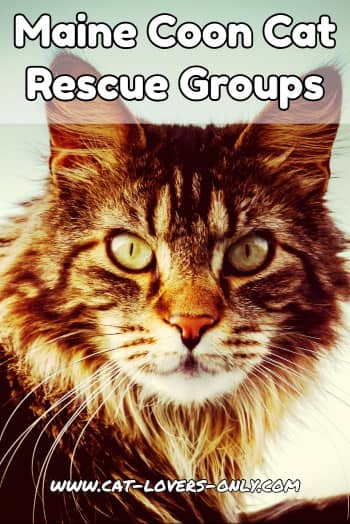 Maine Coon cat face with text Maine Coon Cat Rescue Groups