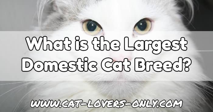 White Maine Coon cat with text overlay What is the Largest Domestic Cat Breed?