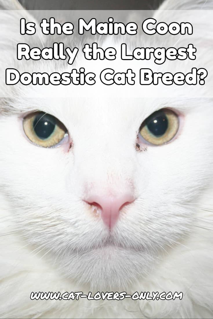 What is the Largest Domestic Cat Breed?