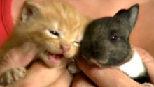 Mama cat adopts baby bunny Bubbles