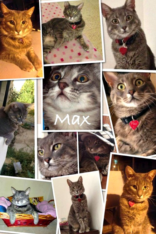 Max the tabby collage
