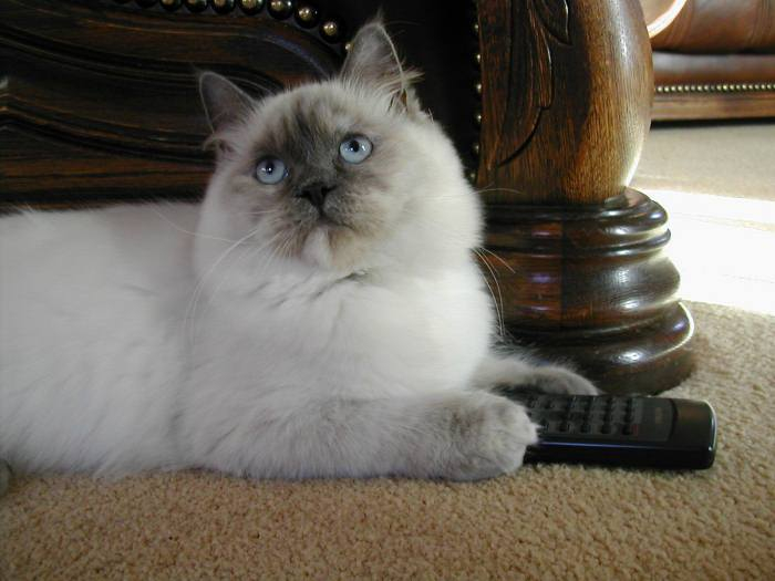 Mindy the Ragdoll