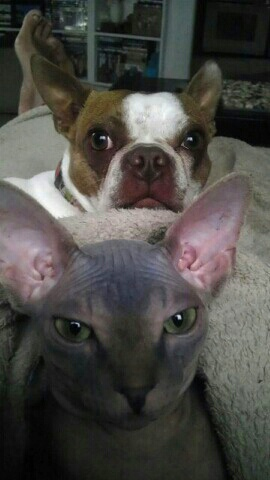 Sphynx cat Neytiri with dog Amy