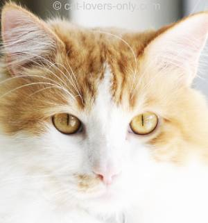 Orange and white bicolor tabby face
