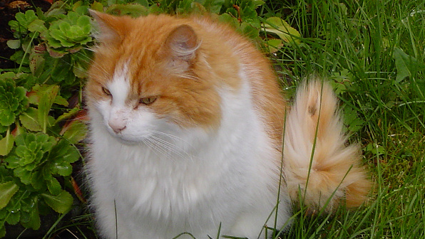 Orange and white Norwegian Forest Cat