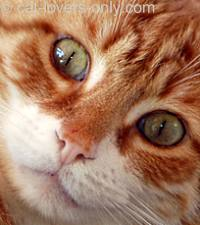 Orange tabby and white face