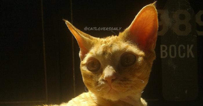 Orange tabby Devon Rex face