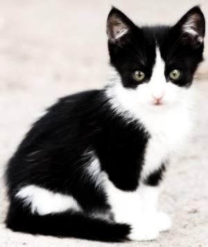Outdoor tuxedo kitten