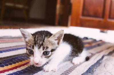 2 Week Old Kitten