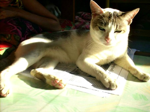 Burmese kitty