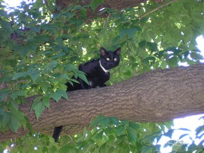 Jade the Bombay cat in a tree