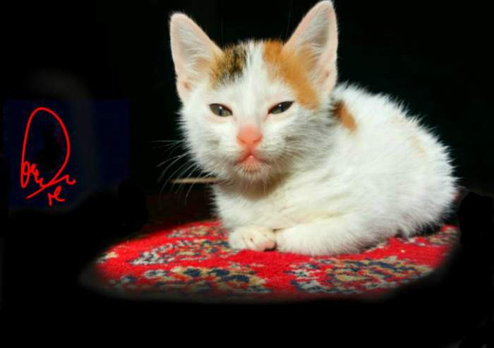 Princess Mocha the calico kitten