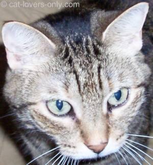 Priscilla the tabby cat