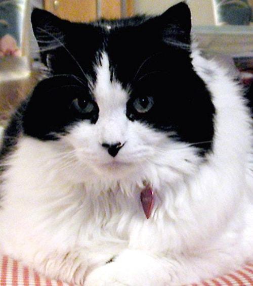 Black and white Ragamuffin cat