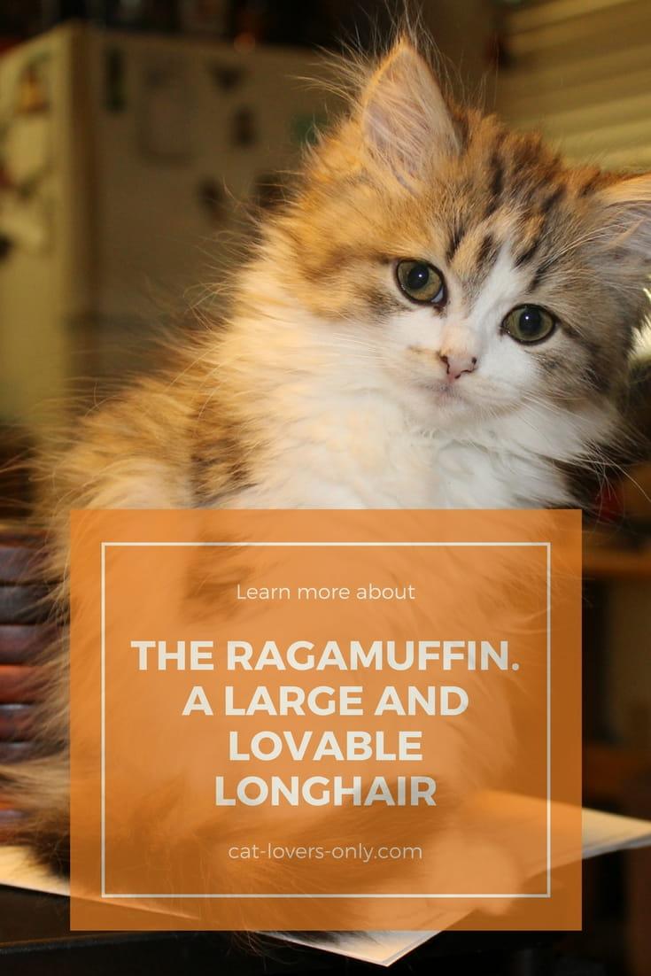 Ragamuffin kitten tabby and white.