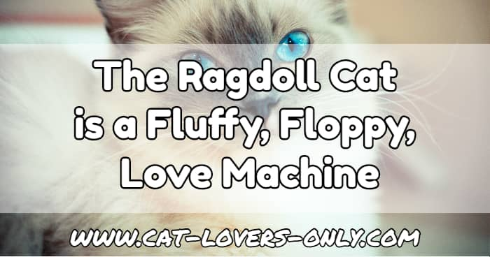 Ragdoll with blue eyes and text overlay The Ragdoll cat is a Fluffy, Floppy, Love Machine