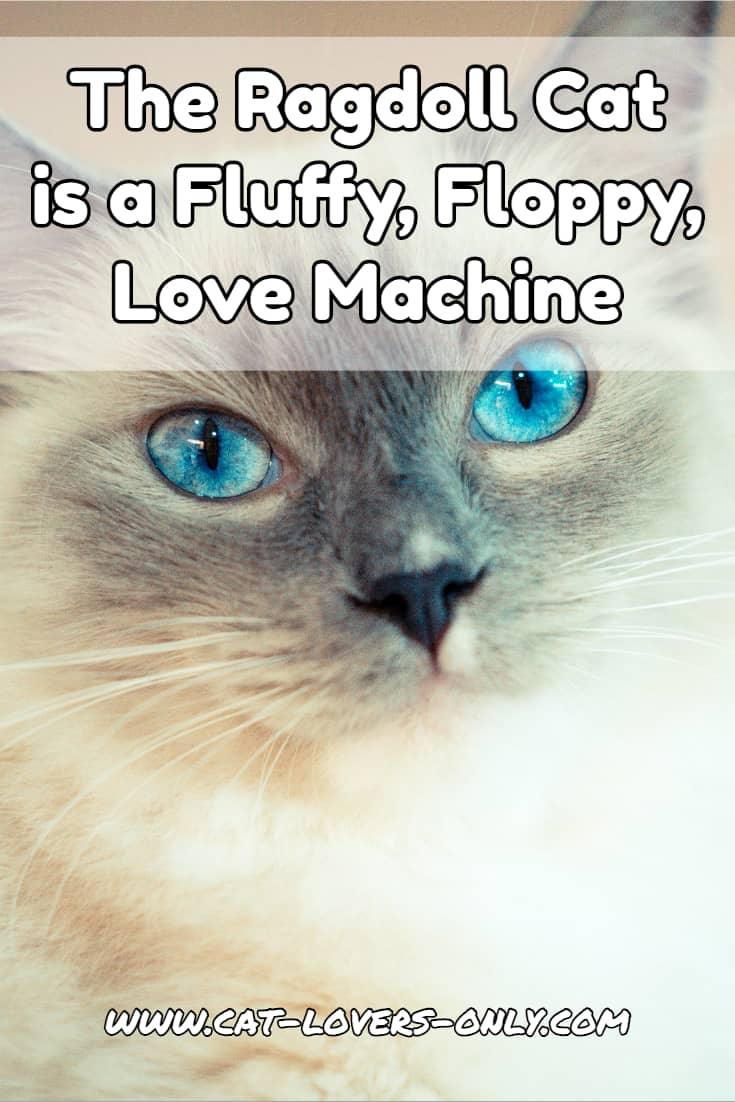 The Ragdoll cat is a Fluffy, Floppy, Love Machine