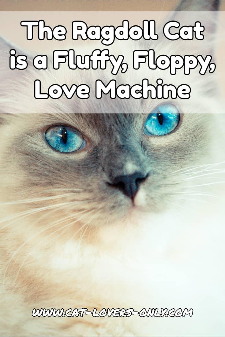 The Ragdoll cat is a Fluffy, Floppy, Love Machine