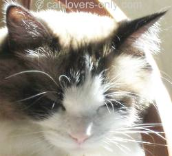 Photo of chocolate bicolor Ragdoll cat face