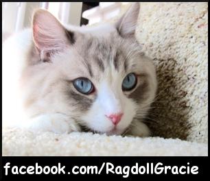 Ragdoll Gracie