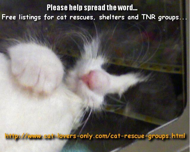 Rescue tuxedo cat awaiting adoption