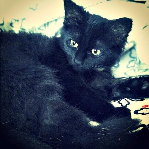Salem kitten