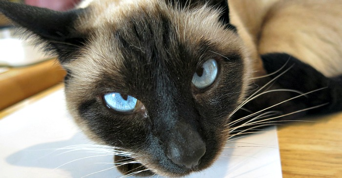 Siamese cat face blue eyes