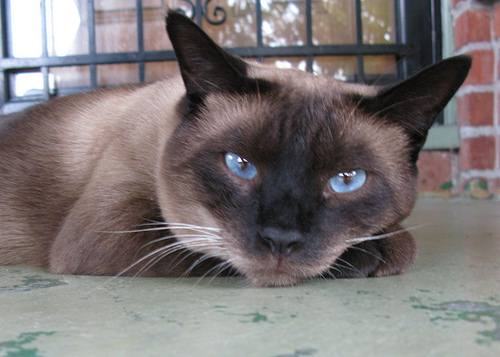 Siamese cat on porch