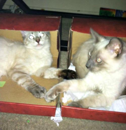 Siamese cats in a box