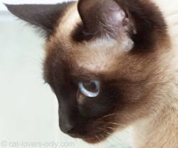 Siamese kitten looking at new automatic litter box