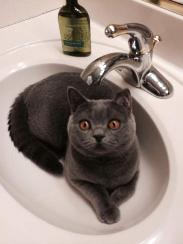 Sir Chubs the grey in the sink